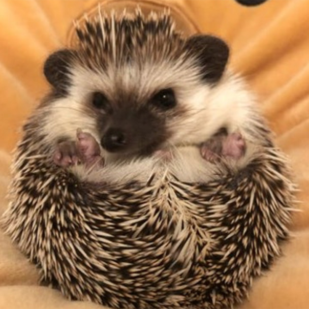Pikes Peak Veterinary Clinic PPVC Colorado Springs vet. client pet selfies hedgehog