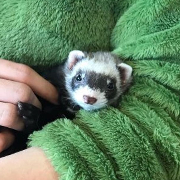 Pikes Peak Veterinary Clinic PPVC Colorado Springs vet. client pet selfies ferret