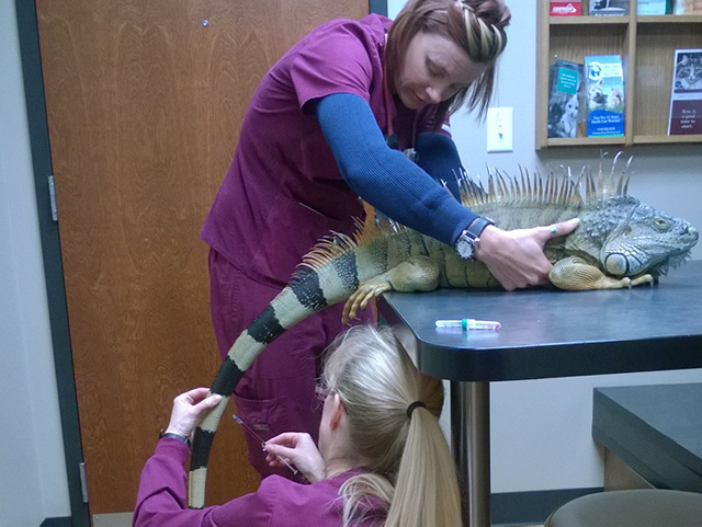 Pikes Peak Veterinary Clinic PPVC Colorado Springs vet. Dr Marsden iguana exam